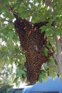 In warm climates swarms can occur.