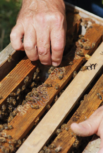 To introduce a queen to your nuc, spread two frames apart, NOT centered, and place your queen cage between, making sure the bees have access to the queen inside.