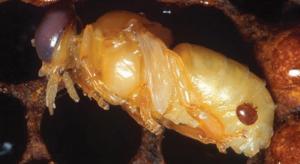 Varroa.