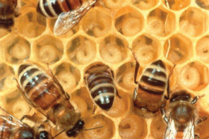 Honey Bees & Humans Mimic Each Other