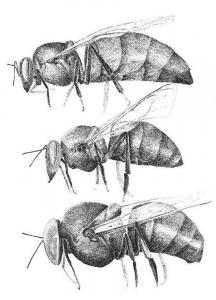 Top to Bottom: Queen, Worker, Drone