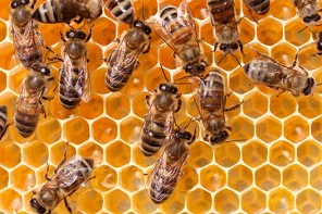 Why Honey Bees Don't Have Problems